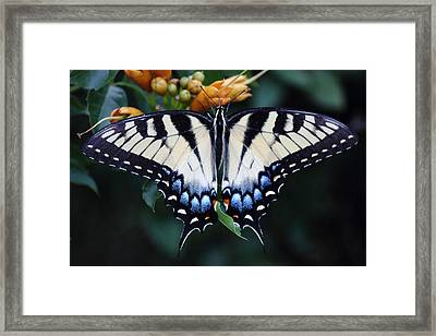 Pale Swallowtail Butterfly-3 Framed Print by Barry Jones