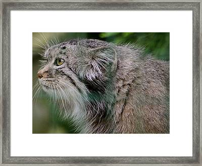 Pallas Cat Framed Print by Karen Grist