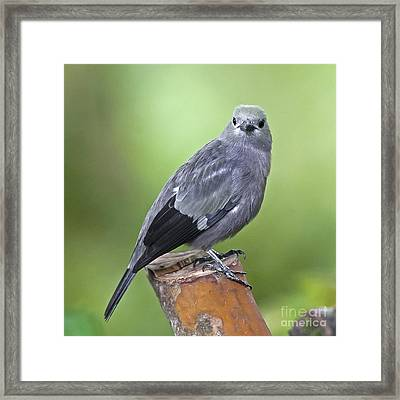 Palm Tanager Framed Print