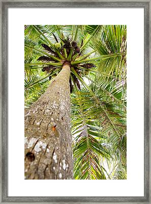 Palm Tree From Below With Coconut Fruit Framed Print by Anya Brewley schultheiss