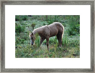 Palomino Yearling Hiding- C0496a Framed Print by Paul Lyndon Phillips