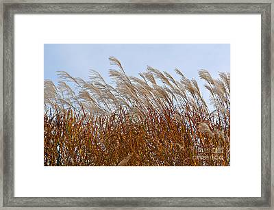 Pampas Grass In The Wind 1 Framed Print
