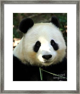 Framed Print featuring the photograph Panda by Anne Raczkowski