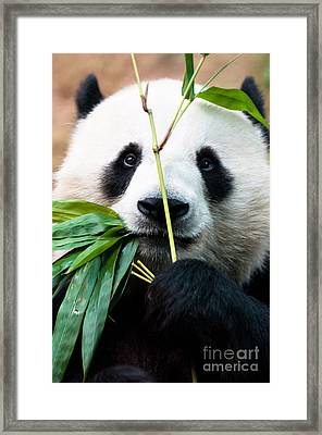 Panda Eating Bamboo Framed Print by Konstantin Kalishko