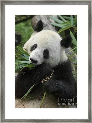 Framed Print featuring the photograph Panda Having Lunch by Craig Lovell