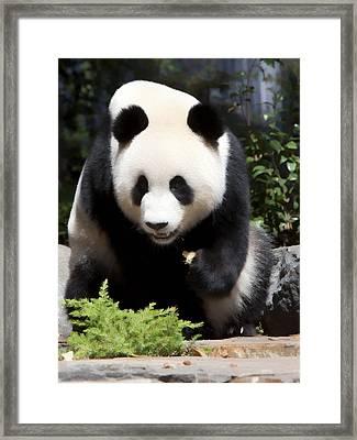 Panda Framed Print by Paul Svensen