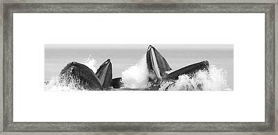 Panoramic Hungry Humpbacks Framed Print by Darcy Michaelchuk