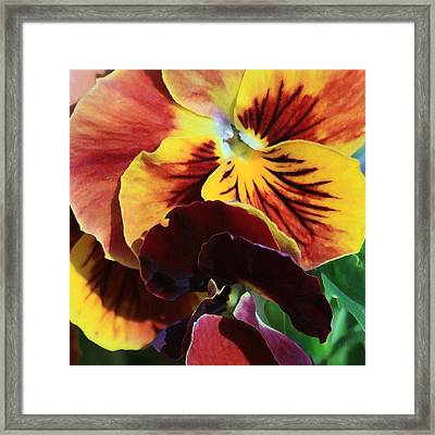 Framed Print featuring the photograph Pansies by Donna Corless