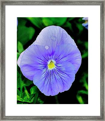 Framed Print featuring the photograph Pansy by Helen Haw