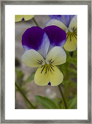 Pansy Framed Print by Rob Hemphill
