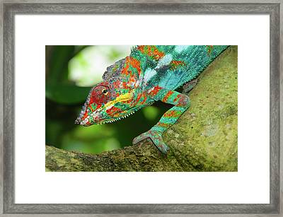 Panther Chameleon Framed Print by Dave Stamboulis Travel Photography