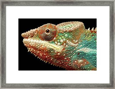 Panther Chameleon Framed Print by MarkBridger