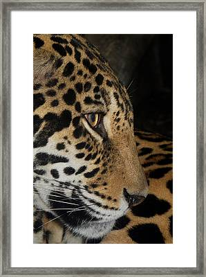 Panthera Onca In Profile Framed Print by Sym