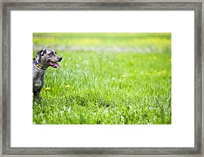 Panting Dog Standing In Meadow Framed Print by Stock4b-rf