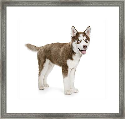 Panting Holiday Puppy Framed Print by Chris Stein