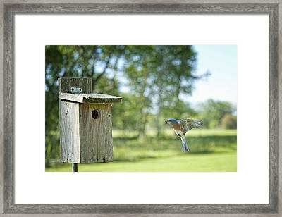 Papa Bluebird Bringing Supper Home Framed Print by Bonnie Barry