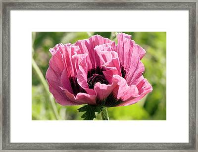 Papaver Orientale 'manhattan' Framed Print