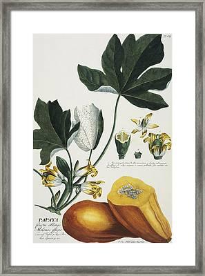 Papaya Framed Print by Georg Dionysius Ehret