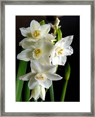 Framed Print featuring the photograph Paperwhites by Robin Dickinson