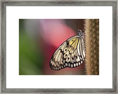 Papillon Framed Print by Pndtphoto