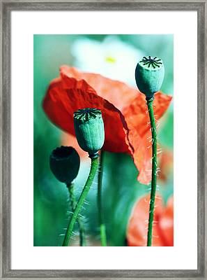 Papoula Framed Print by Falko Follert