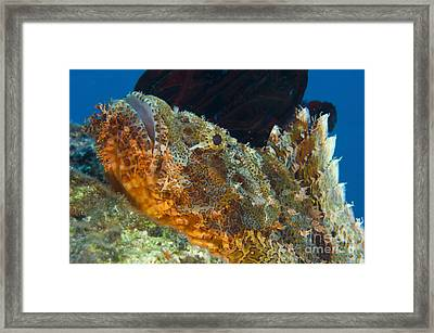 Papuan Scorpionfish Lying On A Reef Framed Print