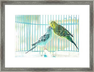 Parakeet Couple Kiss Each Other Framed Print by Lawren