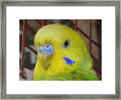 Parakeet Inside Cage Framed Print by Arindam Raha