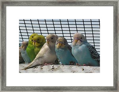 Parakeets In A Row Framed Print by Bonnie Goedecke