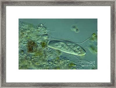 Paramecium Feeding Lm Framed Print