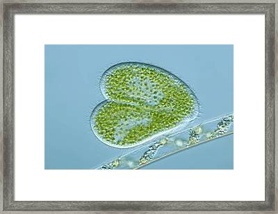 Paramecium Protozoa, Light Micrograph Framed Print by Frank Fox