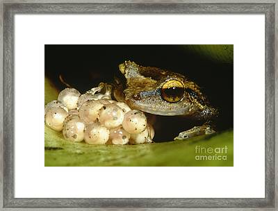 Parental Care By Tree Frog Framed Print by Dante Fenolio