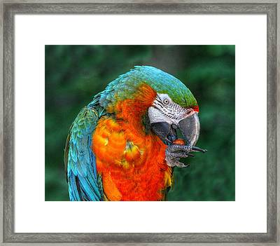 Parrot Head Framed Print by Randy Steele