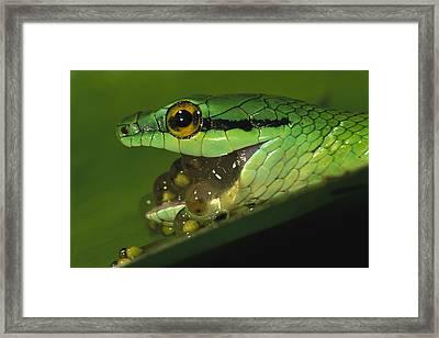 Parrot Snake Eating Tree Frog Eggs Framed Print by Christian Ziegler