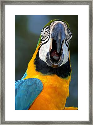Parrot Squawking Framed Print by Carolyn Marshall