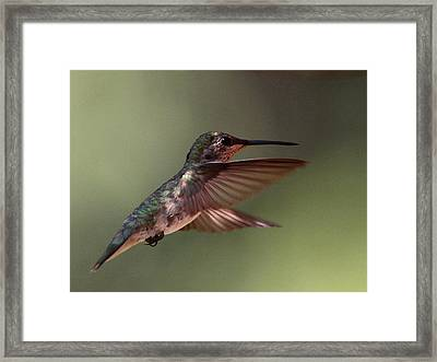Partial Shade For The Ruby- Throated Hummingbird Framed Print by Travis Truelove