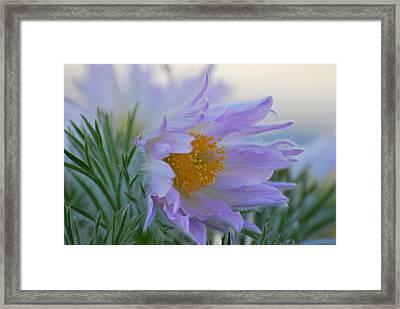 Pasque Flower In The Morning Framed Print by Anne Gordon
