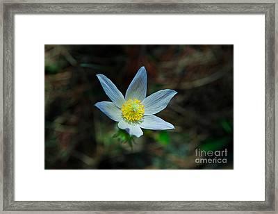 Pasqueflower At Dusk Framed Print