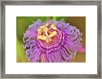 Framed Print featuring the photograph Passiflor by Puzzles Shum