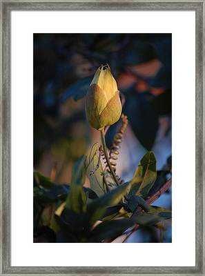 Passiflora Incarnata Framed Print by Dickon Thompson