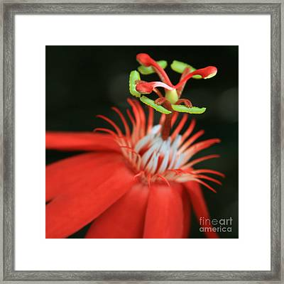 Passiflora Vitifolia - Scarlet Red Passion Flower Framed Print