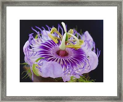 Passion Flora Framed Print by Juergen Roth