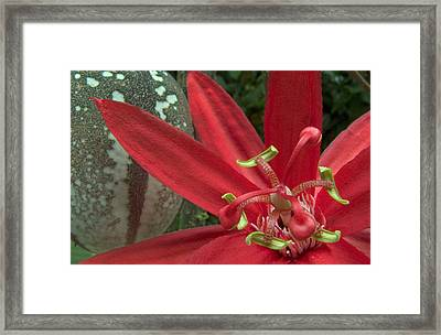 Passion Flower Blossom Costa Rica Framed Print by Piotr Naskrecki