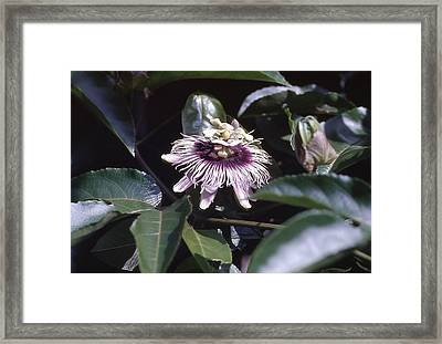 Framed Print featuring the photograph Passion Flower by Craig Wood