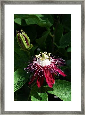 Passion Flower Framed Print by Eva Kaufman