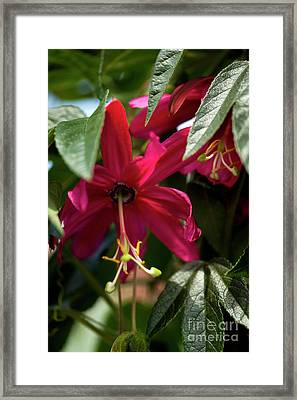 Passion Flower (passiflora Antioquiensis) Framed Print