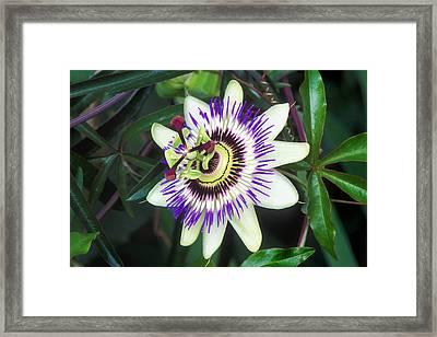 Passion Flower (passiflora Sp.) Framed Print by Kaj R. Svensson