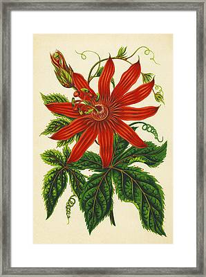 Passion Flower Framed Print by Sheila Terry