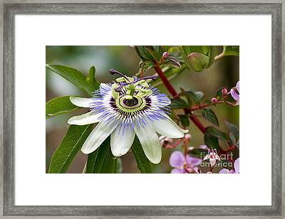Passion Flower Framed Print