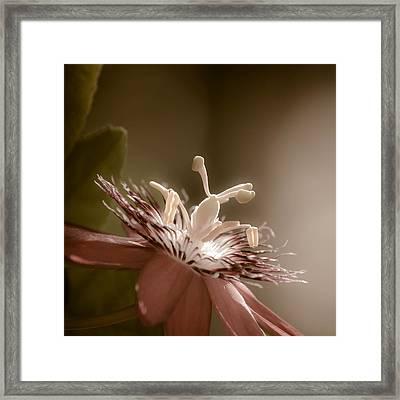 Passion Flower Framed Print by Trish Tritz